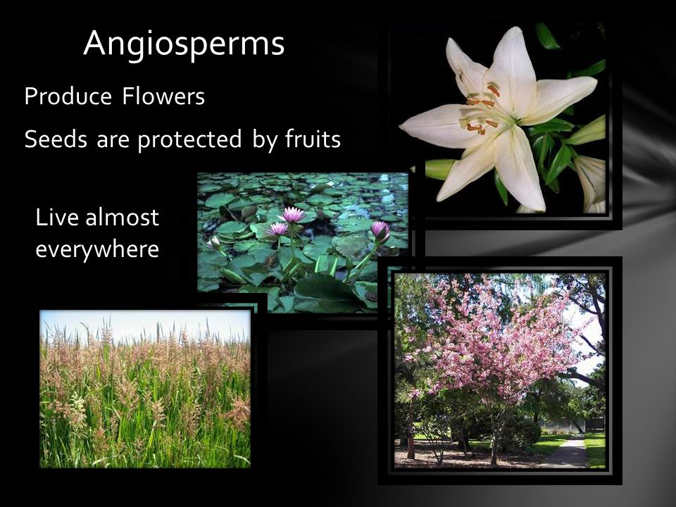 Produce Flowers Seeds are protected by fruits Angiosperms Live almost everywhere