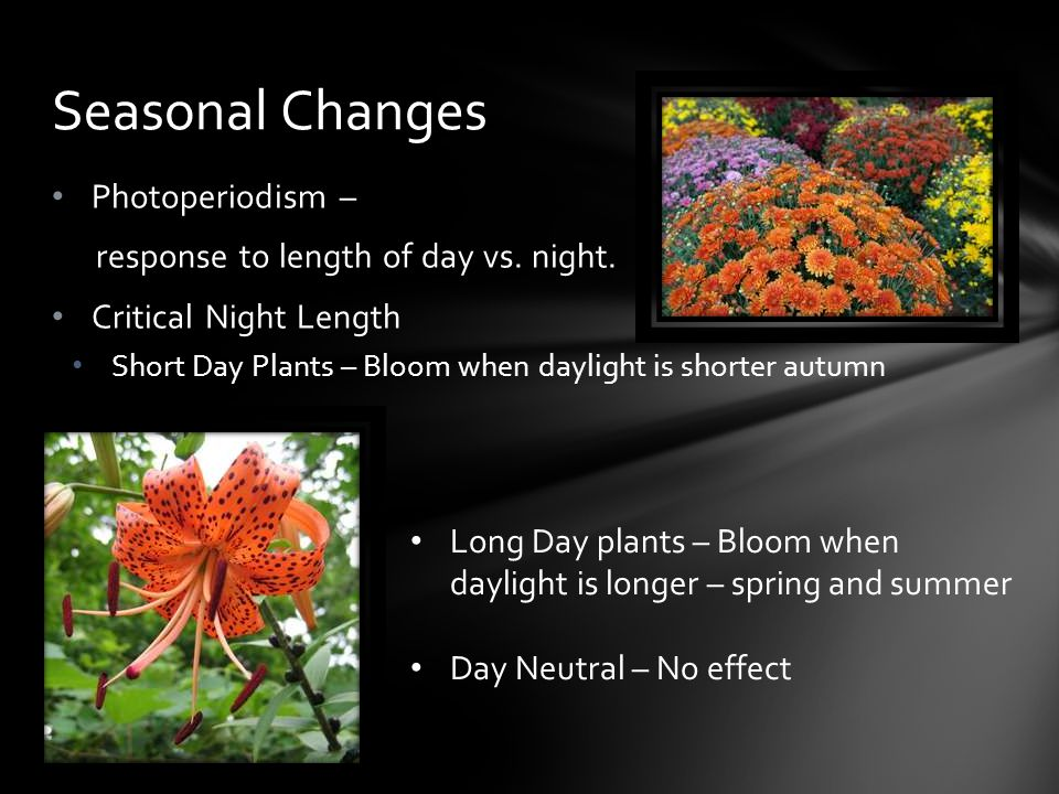 Photoperiodism – response to length of day vs. night. Critical Night Length Short Day Plants – Bloom when daylight is shorter autumn Seasonal Changes