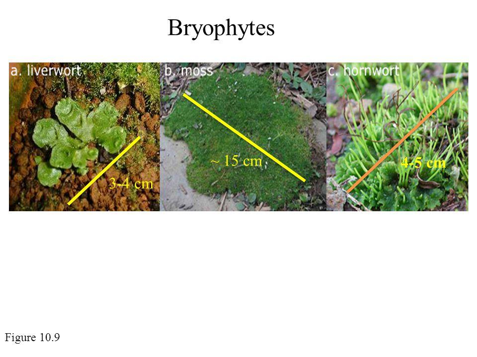 Bryophytes Figure 10.9 3-4 cm ~ 15 cm 4-5 cm
