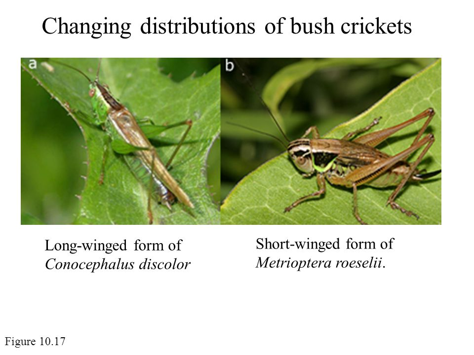 Changing distributions of bush crickets Figure 10.17 Short-winged form of Metrioptera roeselii.