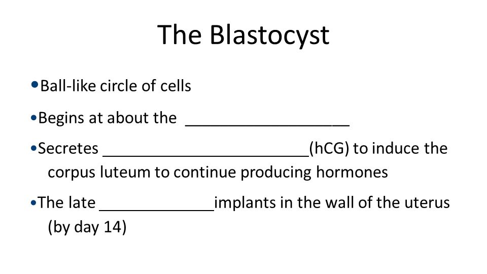 The Blastocyst Ball-like circle of cells Begins at about the ___________________ Secretes (hCG) to induce the corpus luteum to continue producing horm