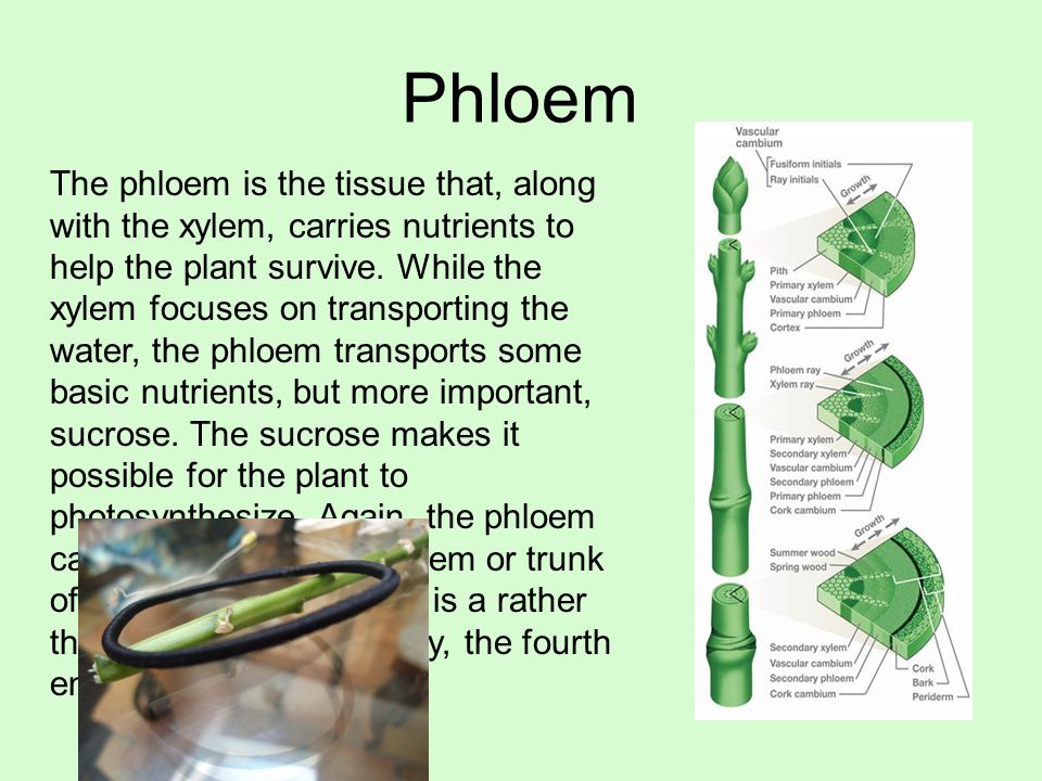 Phloem The phloem is the tissue that, along with the xylem, carries nutrients to help the plant survive.