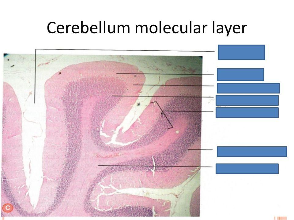 Cerebellum molecular layer