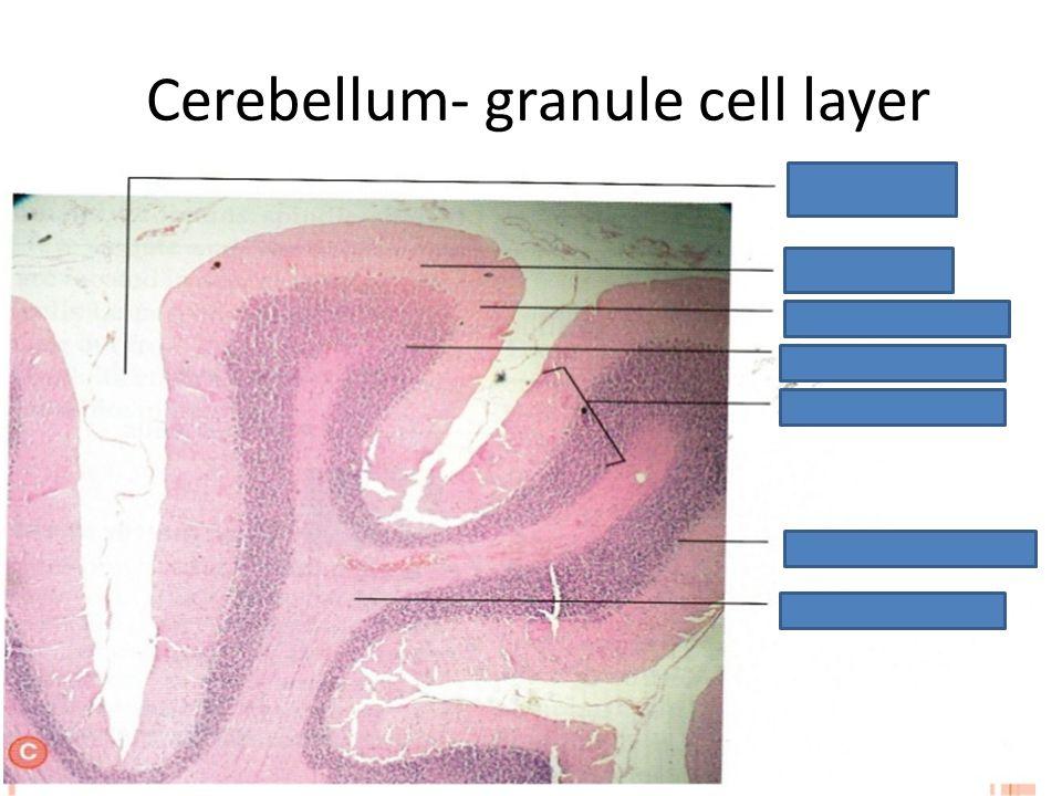 Cerebellum- granule cell layer