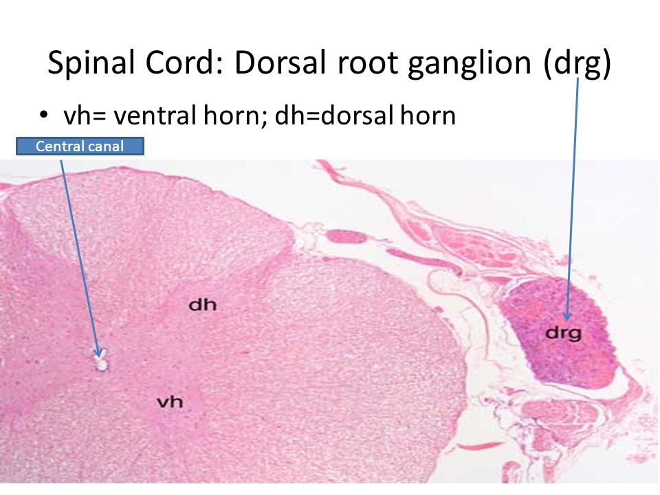 Spinal Cord: Dorsal root ganglion (drg) vh= ventral horn; dh=dorsal horn Central canal