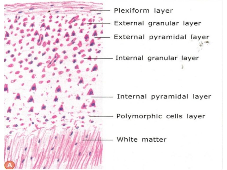 Cerebral cortex grey matter