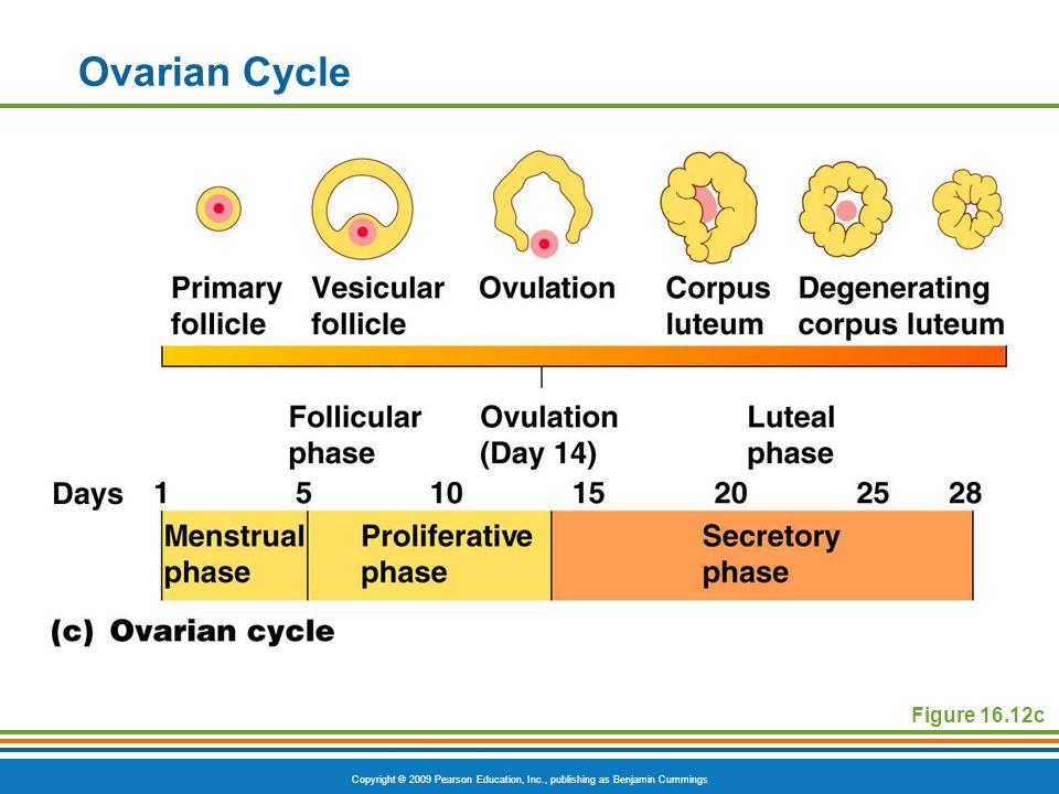 Copyright © 2009 Pearson Education, Inc., publishing as Benjamin Cummings Ovarian Cycle Figure 16.12c