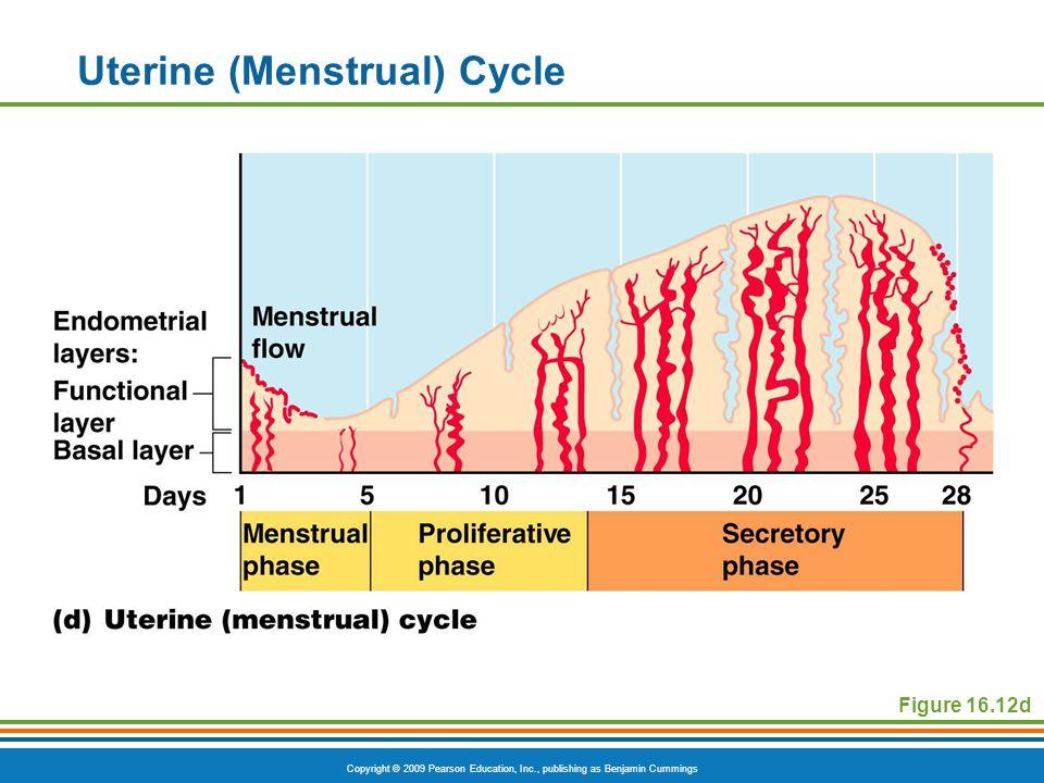 Copyright © 2009 Pearson Education, Inc., publishing as Benjamin Cummings Uterine (Menstrual) Cycle Figure 16.12d