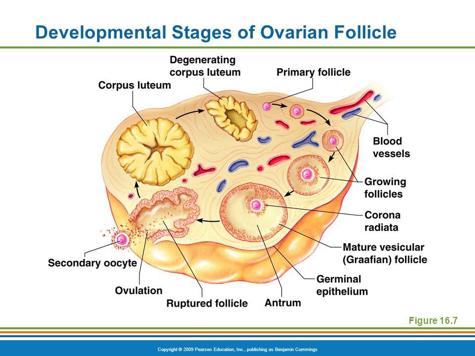 Copyright © 2009 Pearson Education, Inc., publishing as Benjamin Cummings Developmental Stages of Ovarian Follicle Figure 16.7
