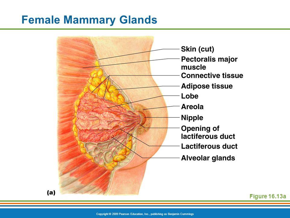 Copyright © 2009 Pearson Education, Inc., publishing as Benjamin Cummings Female Mammary Glands Figure 16.13a