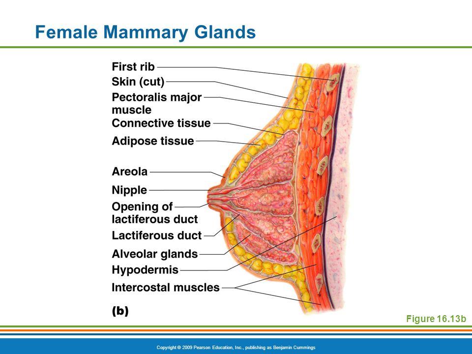 Copyright © 2009 Pearson Education, Inc., publishing as Benjamin Cummings Female Mammary Glands Figure 16.13b