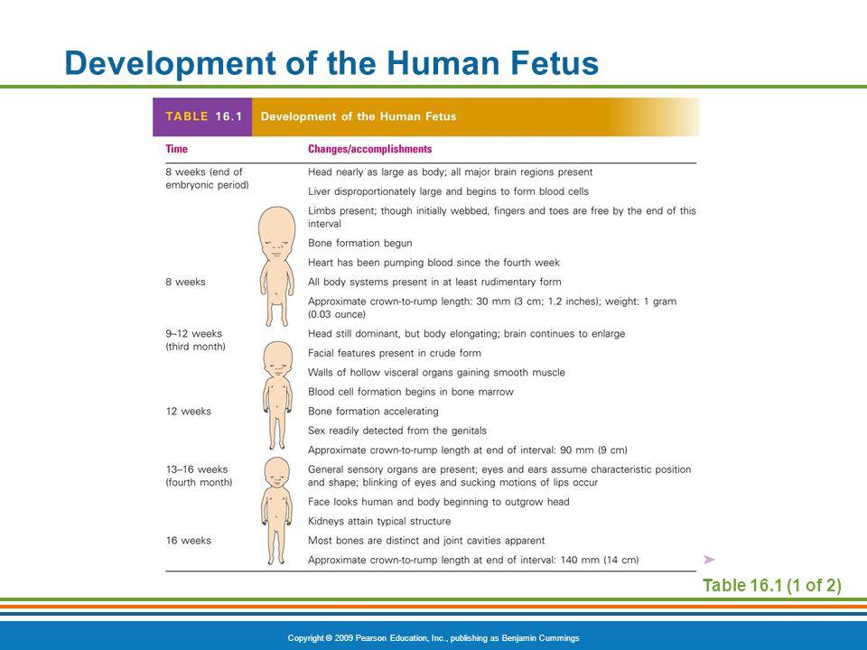 Copyright © 2009 Pearson Education, Inc., publishing as Benjamin Cummings Table 16.1 (1 of 2) Development of the Human Fetus