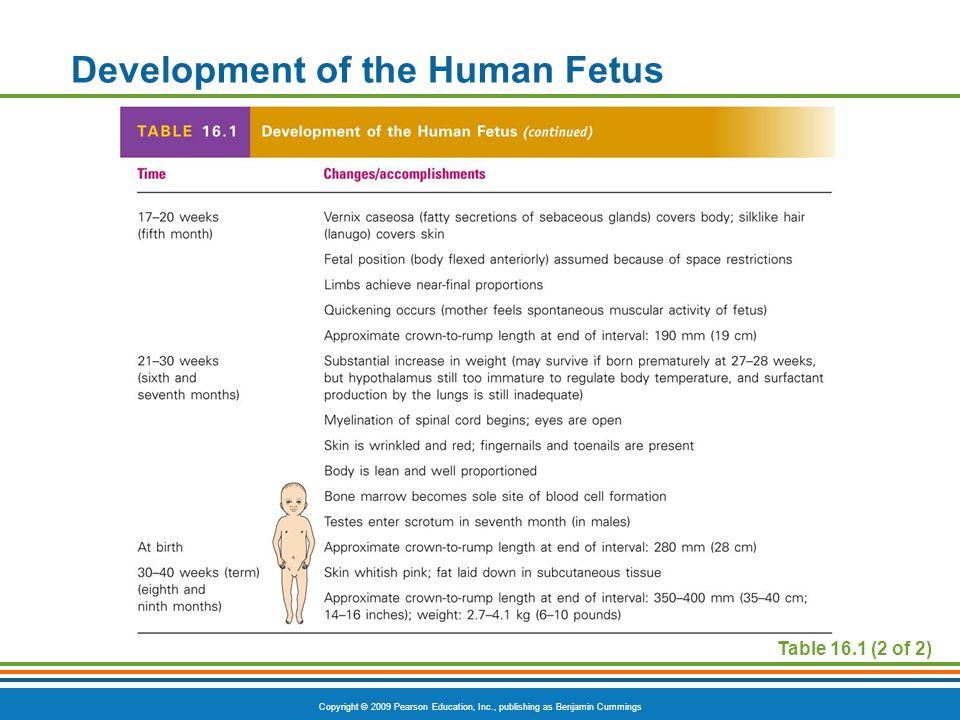 Copyright © 2009 Pearson Education, Inc., publishing as Benjamin Cummings Development of the Human Fetus Table 16.1 (2 of 2)