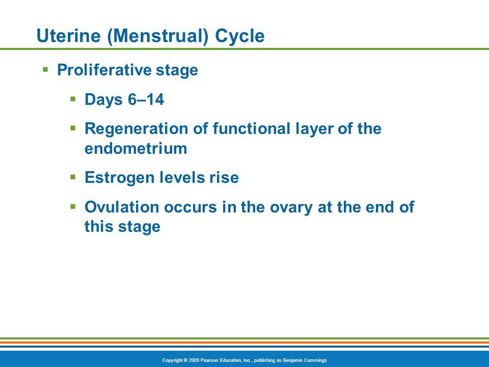 Copyright © 2009 Pearson Education, Inc., publishing as Benjamin Cummings Uterine (Menstrual) Cycle  Proliferative stage  Days 6–14  Regeneration o