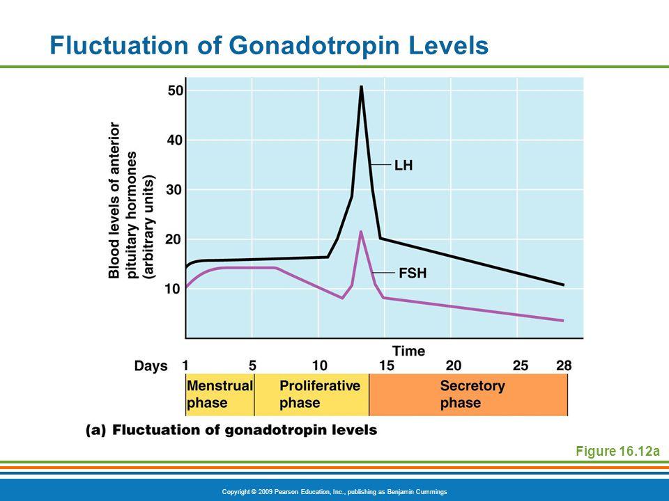 Copyright © 2009 Pearson Education, Inc., publishing as Benjamin Cummings Fluctuation of Gonadotropin Levels Figure 16.12a