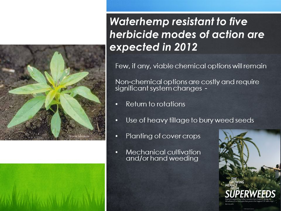 Waterhemp resistant to five herbicide modes of action are expected in 2012 Few, if any, viable chemical options will remain Non-chemical options are costly and require significant system changes - Return to rotations Use of heavy tillage to bury weed seeds Planting of cover crops Mechanical cultivation and/or hand weeding