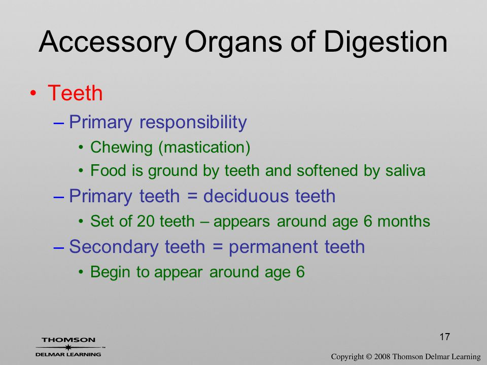 17 Accessory Organs of Digestion Teeth –Primary responsibility Chewing (mastication) Food is ground by teeth and softened by saliva –Primary teeth = d