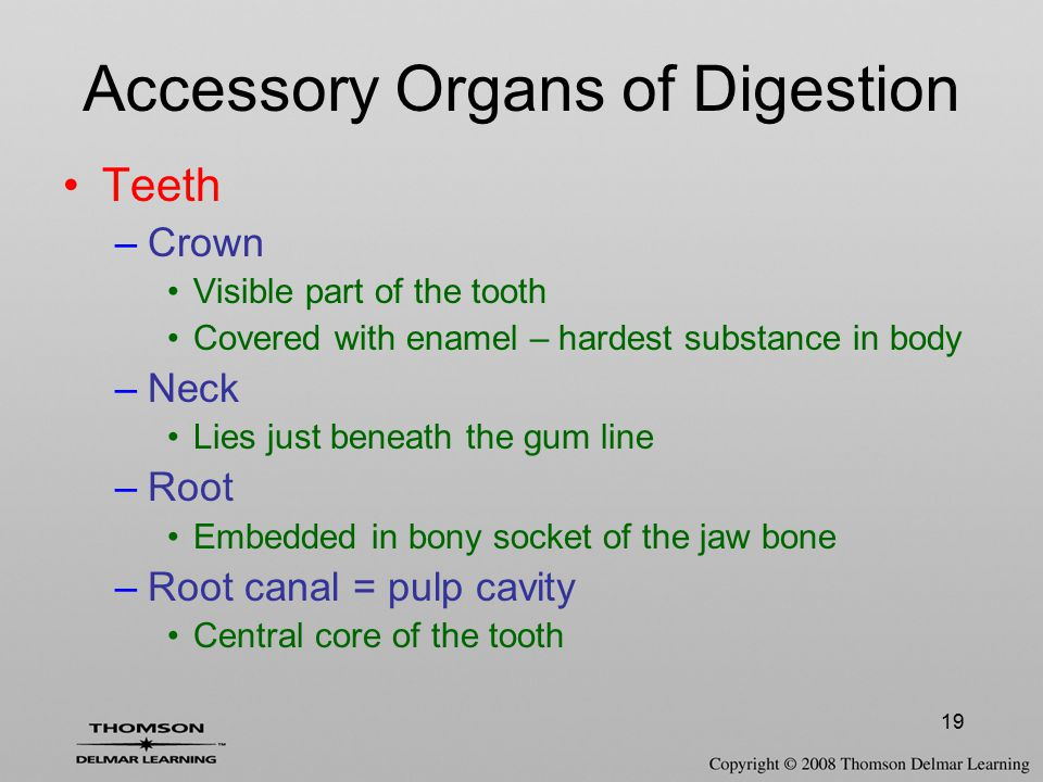 19 Accessory Organs of Digestion Teeth –Crown Visible part of the tooth Covered with enamel – hardest substance in body –Neck Lies just beneath the gu