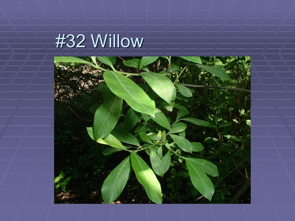 #32 Willow