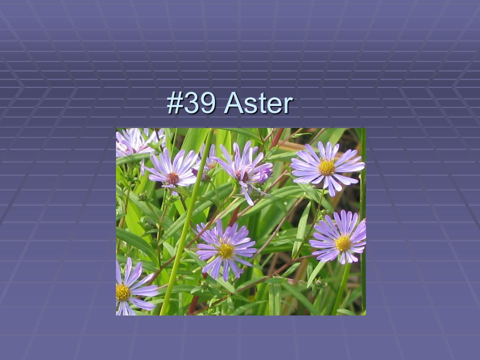 #39 Aster