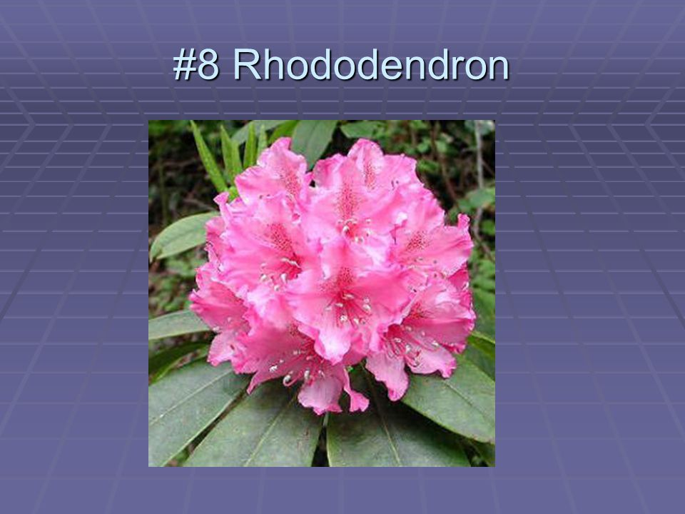 #8 Rhododendron