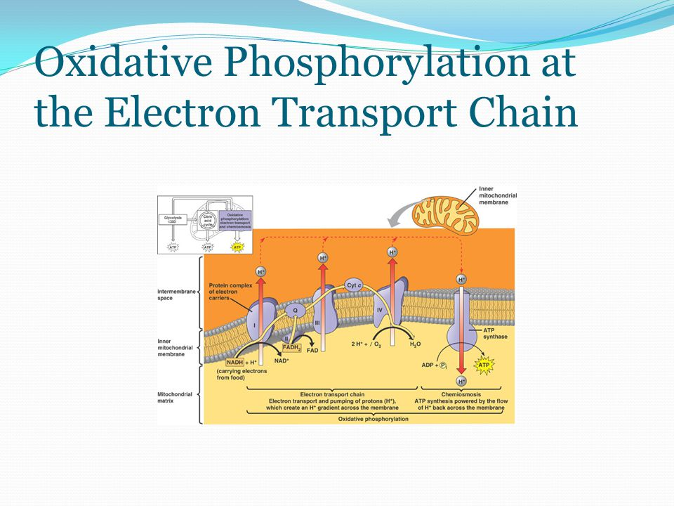 Oxidative Phosphorylation at the Electron Transport Chain