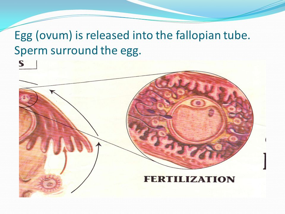 Uterine Tube Slide into the fallopian tube