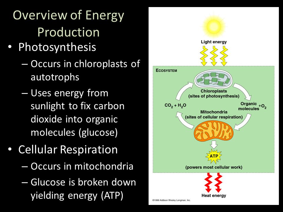 Photosynthesis – Occurs in chloroplasts of autotrophs – Uses energy from sunlight to fix carbon dioxide into organic molecules (glucose) Cellular Respiration – Occurs in mitochondria – Glucose is broken down yielding energy (ATP) Overview of Energy Production