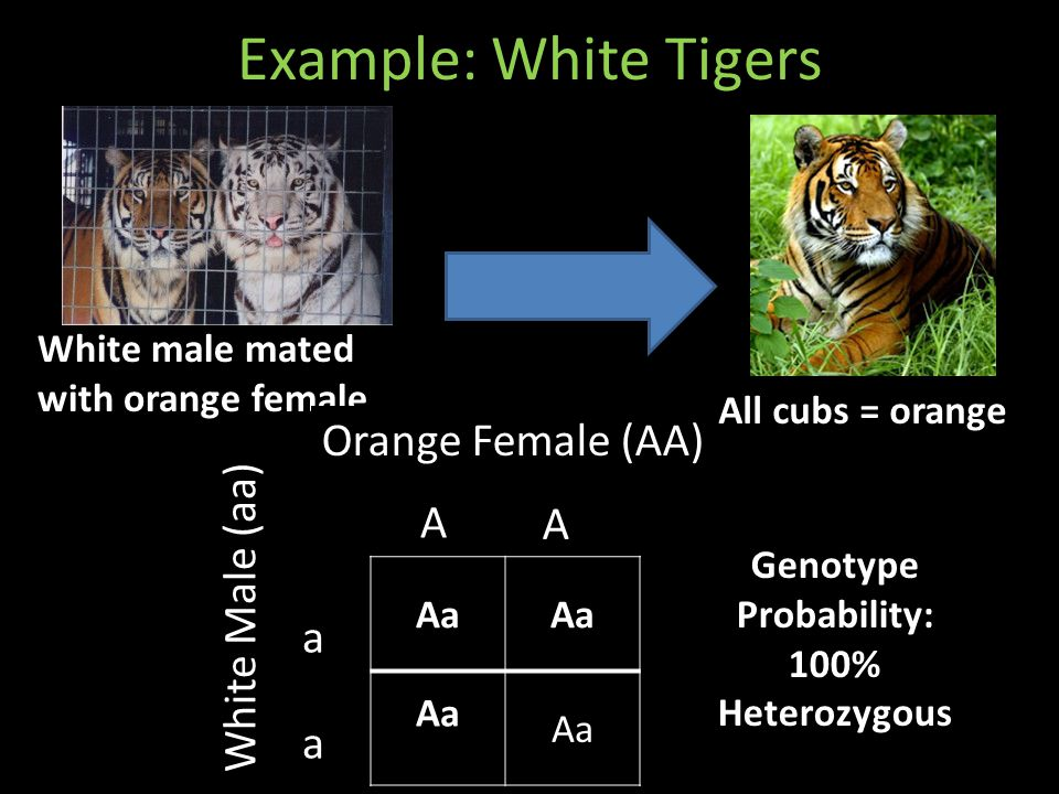 Example: White Tigers White male mated with orange female All cubs = orange Aa A A a a Orange Female (AA) White Male (aa) Genotype Probability: 100% Heterozygous
