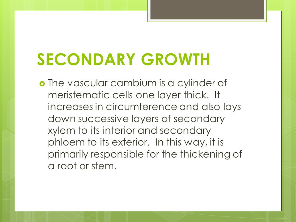 SECONDARY GROWTH  The vascular cambium is a cylinder of meristematic cells one layer thick. It increases in circumference and also lays down successi