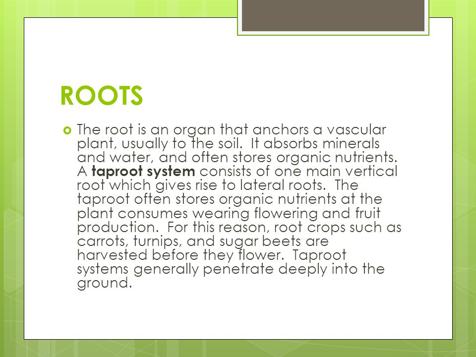 ROOTS  The root is an organ that anchors a vascular plant, usually to the soil. It absorbs minerals and water, and often stores organic nutrients. A
