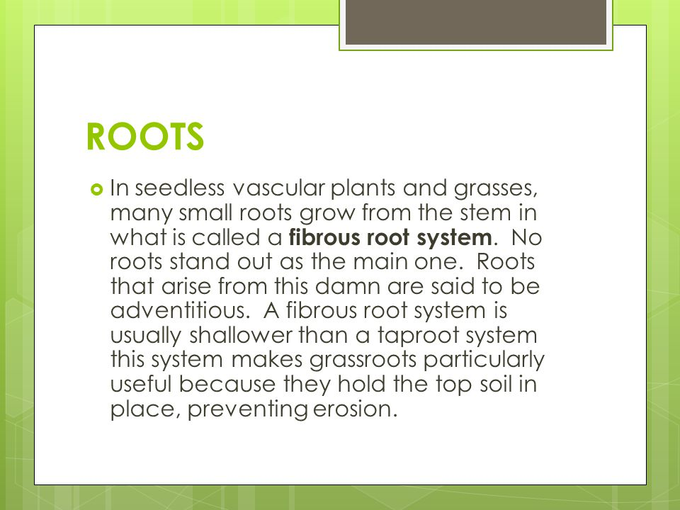 ROOTS  The entire route system helps anchor of plant, but the absorption of water and minerals occurs primarily near the root tips, where vast numbers of tiny root hairs increase the surface area of the root enormously.