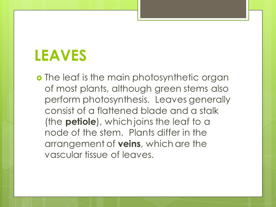 LEAVES  The leaf is the main photosynthetic organ of most plants, although green stems also perform photosynthesis. Leaves generally consist of a fla