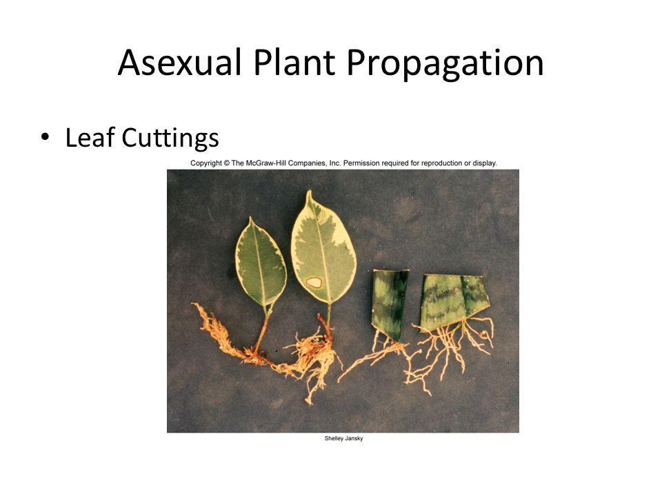 Asexual Plant Propagation Leaf Cuttings