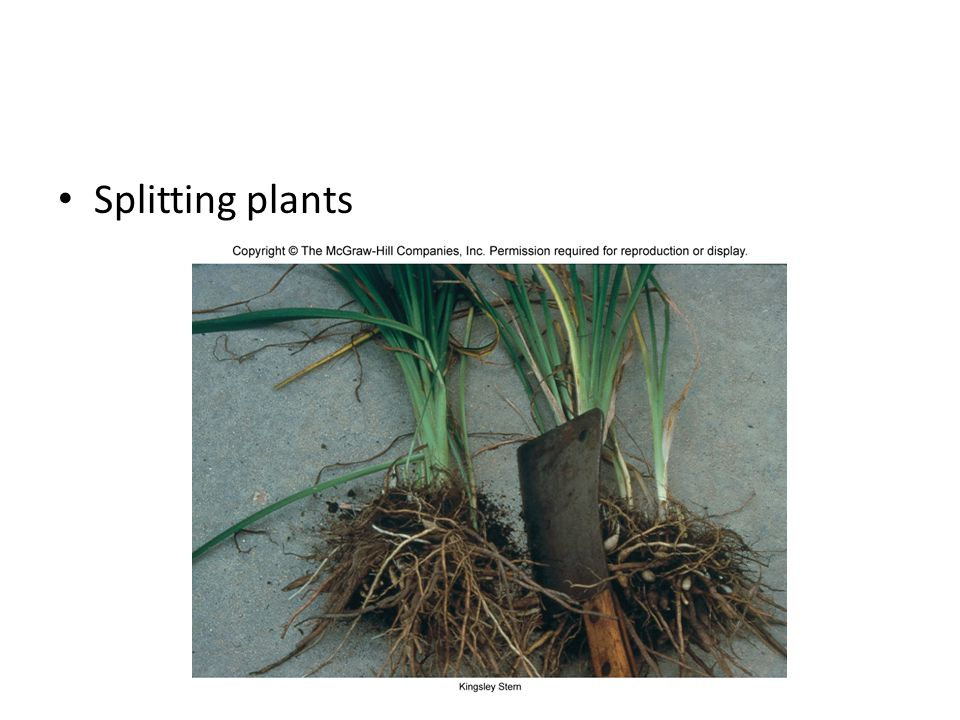 Splitting plants