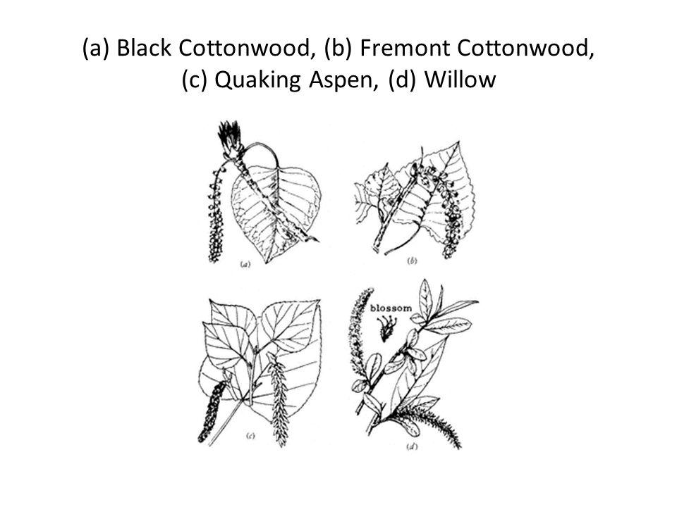(a) Black Cottonwood, (b) Fremont Cottonwood, (c) Quaking Aspen, (d) Willow