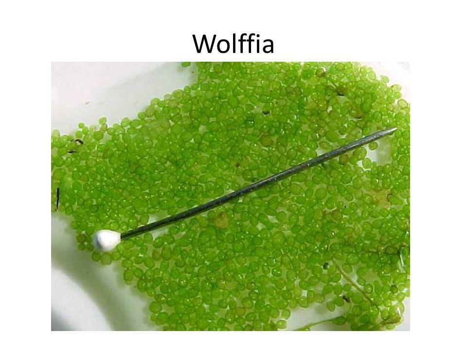 Wolffia