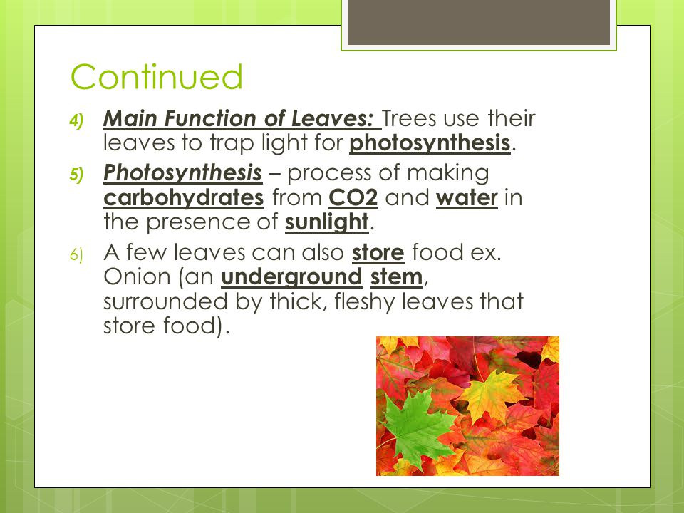 Continued 4) Main Function of Leaves: Trees use their leaves to trap light for photosynthesis. 5) Photosynthesis – process of making carbohydrates fro