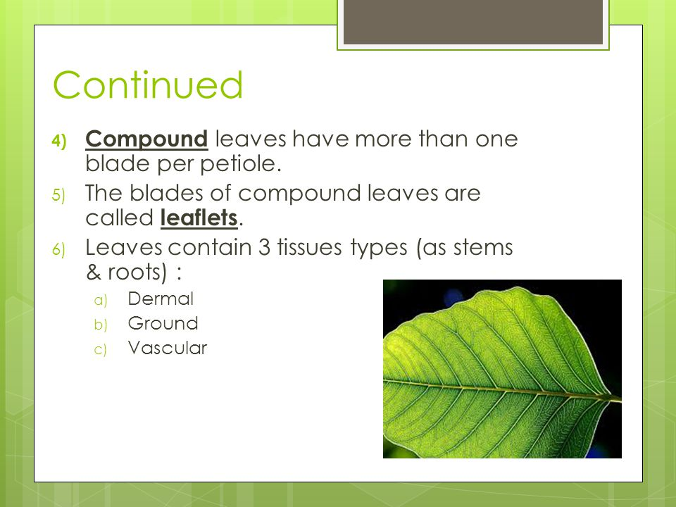 Continued 4) Compound leaves have more than one blade per petiole.