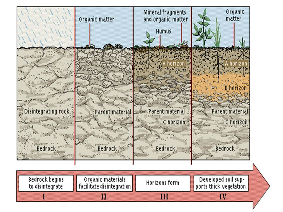 Soil profile Made up of soil horizons –Different textures and compositions Can be observed by digging a soil pit Mature soils have 3 or more horizons