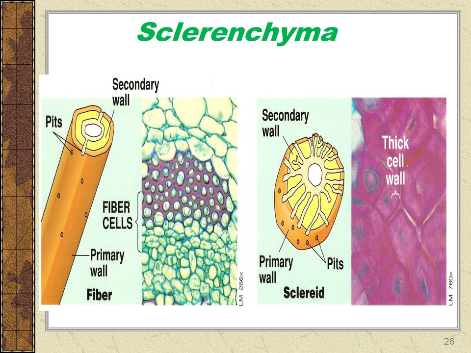 Sclerenchyma 26