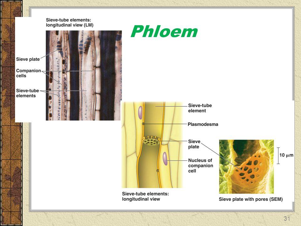 Phloem 31