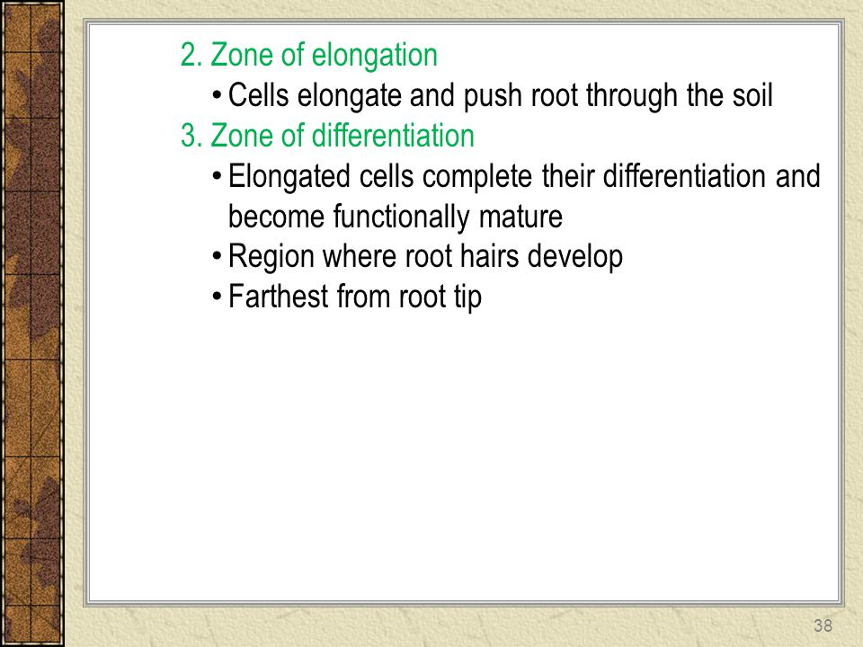 2. Zone of elongation Cells elongate and push root through the soil 3. Zone of differentiation Elongated cells complete their differentiation and beco