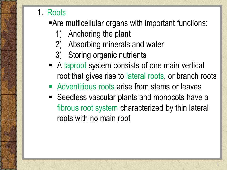 1. Roots  Are multicellular organs with important functions: 1)Anchoring the plant 2)Absorbing minerals and water 3)Storing organic nutrients  A tap