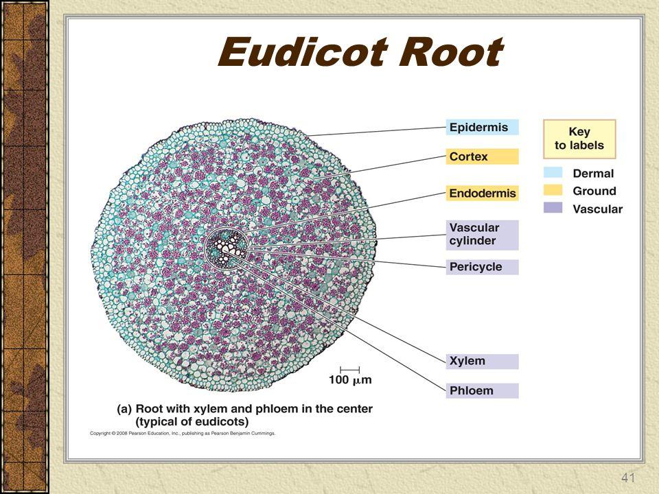 Eudicot Root 41