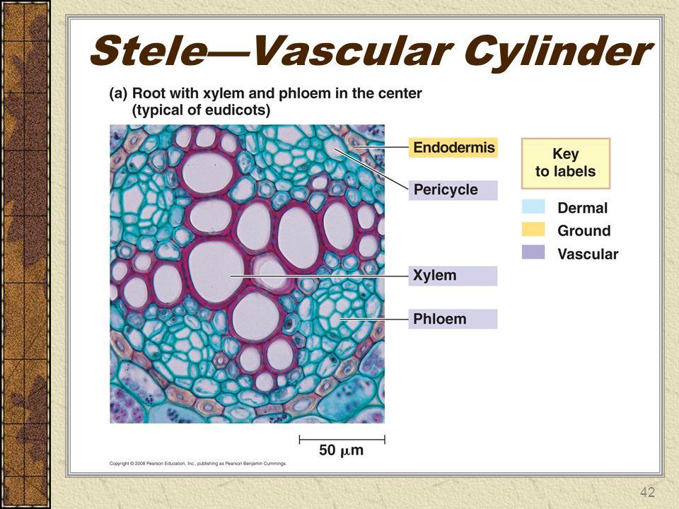 Stele—Vascular Cylinder 42