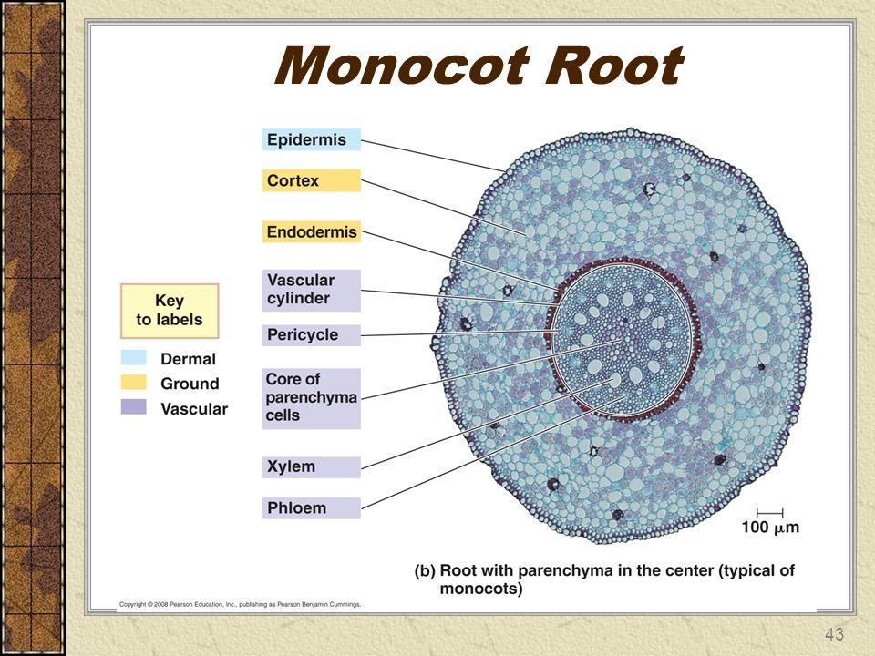 Monocot Root 43