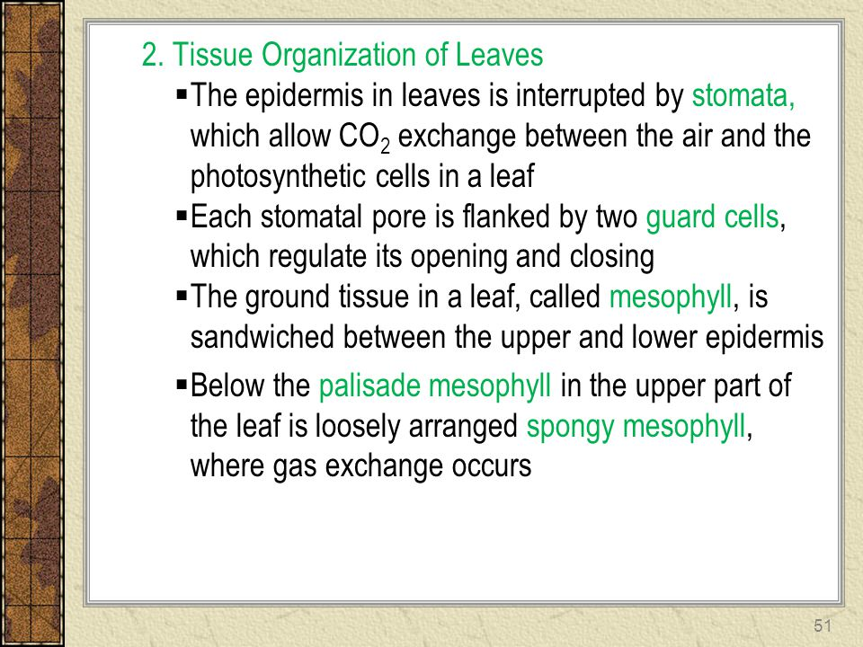 2. Tissue Organization of Leaves  The epidermis in leaves is interrupted by stomata, which allow CO 2 exchange between the air and the photosynthetic