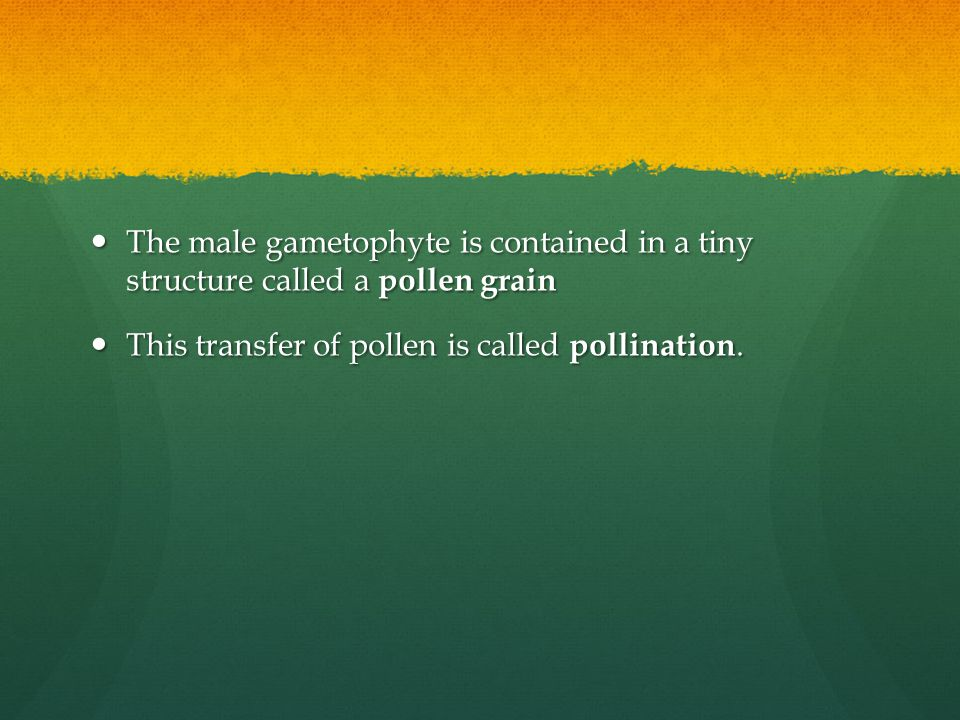 The male gametophyte is contained in a tiny structure called a pollen grain The male gametophyte is contained in a tiny structure called a pollen grai