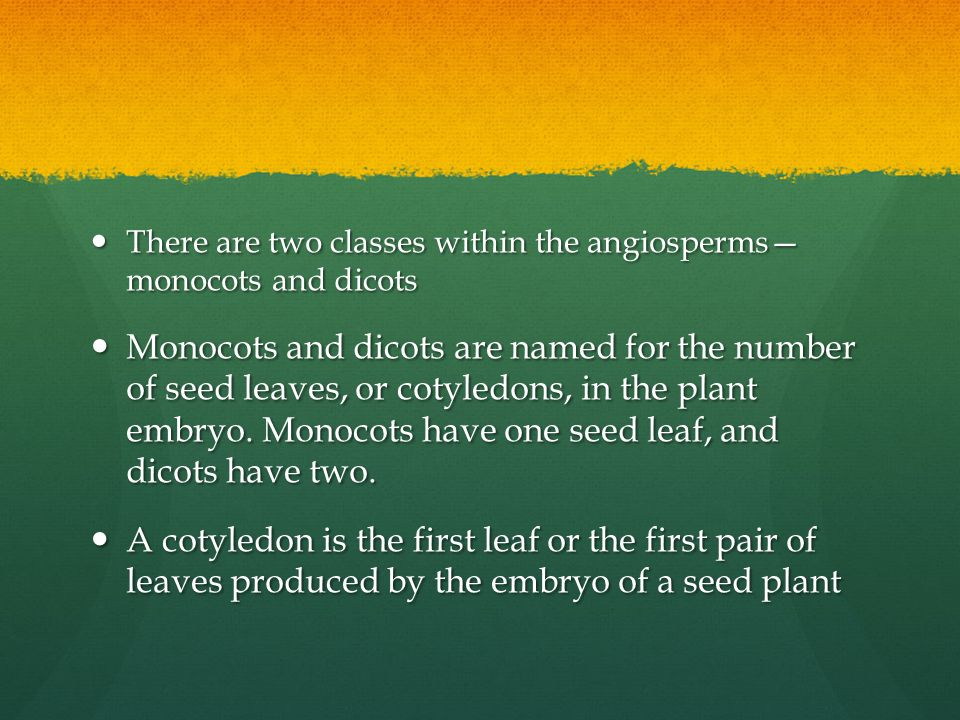There are two classes within the angiosperms— monocots and dicots There are two classes within the angiosperms— monocots and dicots Monocots and dicot